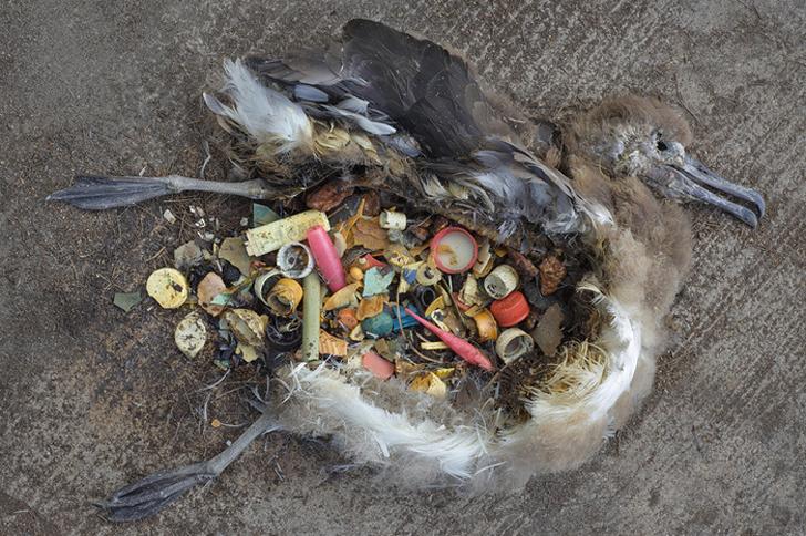 Cerca de un millón de aves mueren cada año por los plásticos
